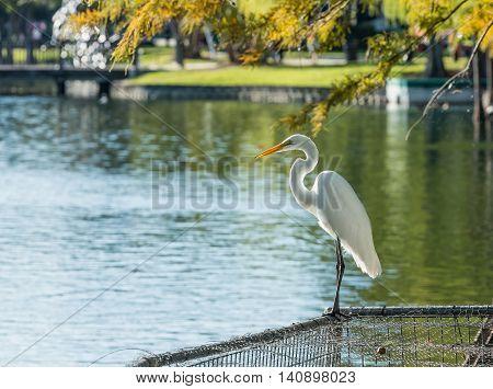 Animals in Wildlife - White Egrets on lake Eola Orlando Florida