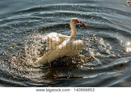 Animals in Wildlife. White Egrets on lake Eola Orlando Florida. White Heron splashing in a lake