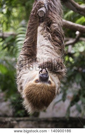 Closed up Young Hoffmann's two-toed sloth show tongue