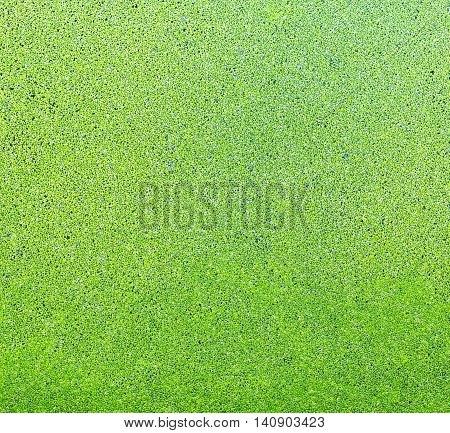 Top View Green Duckweeds Cover Surface Of Water. For Texture Background