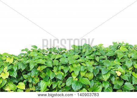 Fresh Piper Sarmentosum Isolated On White Background