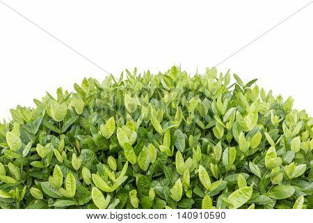 Tree Of Ixora. Tropical Flower In Garden Decoration Isolated On White. Saved With Clipping Path