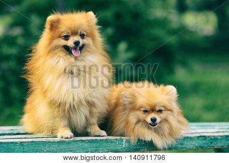 Cute fluffy dogs on green grass