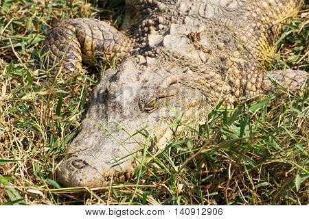 crocodile laying on the grass in the wild