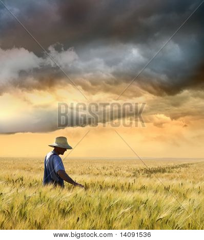 Farmer checking his crop of wheat against a beautiful sunset