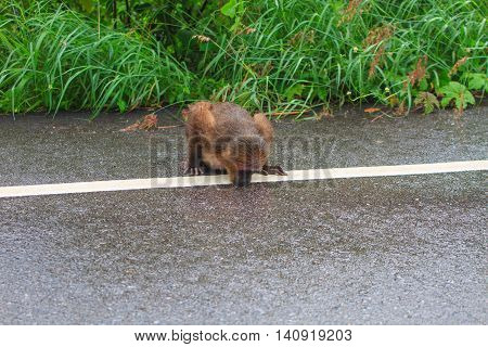 Stump-tailed macaque (Macaca arctoides )drinking water on the road in forest Thailand
