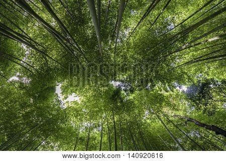 Famouse Bamboo forest in Arashiyama Kyoto Japan