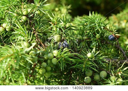 cade tree with ripe blue and green berries