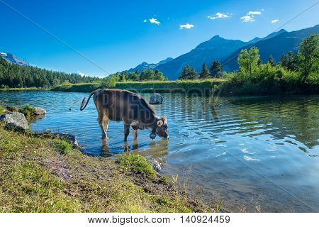Cow Drinks In A Mountain Lake