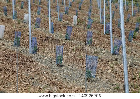 On a vineyard new vines were planted