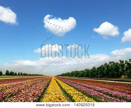 Flower kibbutz near Gaza Strip. Spring flowering buttercups. Over the field flying flock of migratory birds