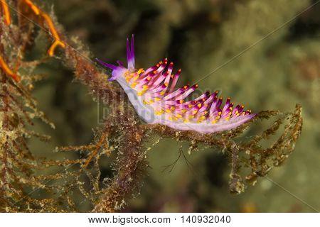 Cuthona Sibogae Nudibranch, Sea Slug