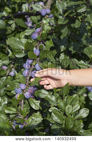 Male hands picking fresh plums from the tree.