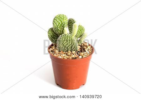 Cactus mini on isolated background. Cactus on white