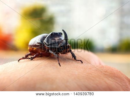 rhinoceros beetle giant on a man's hand at sunset