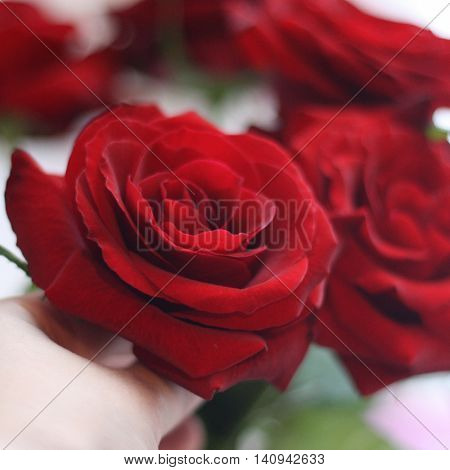 Red roses close up.