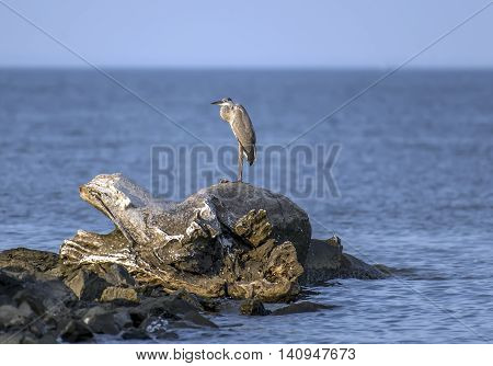 Great Blue Heron standing on an old log on a jetty in the Chesapeake Bay