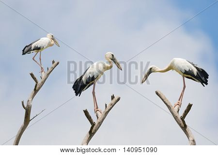 The Asian openbill stork, large wading bird with gap between beaks perching on dried branch (Anastomus oscitans) in Thailand, Asia