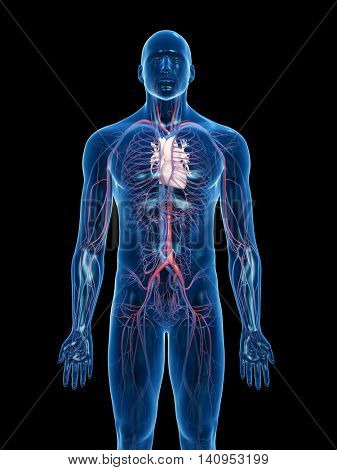 3d rendered medically accurate illustration of the vascular system
