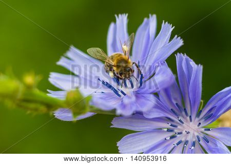 Macro of a bee on a common chicory - Cichorium intybus