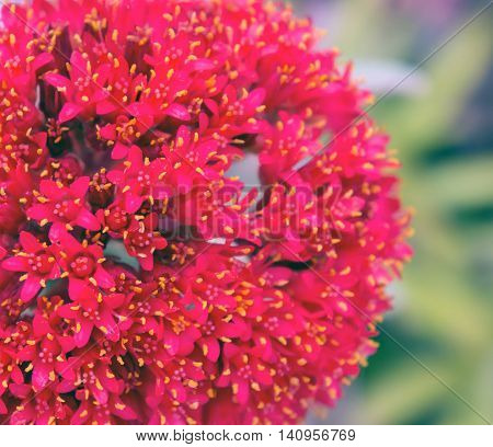 bunch of red small flowers with yellow center, exotic growing in the park, close-up