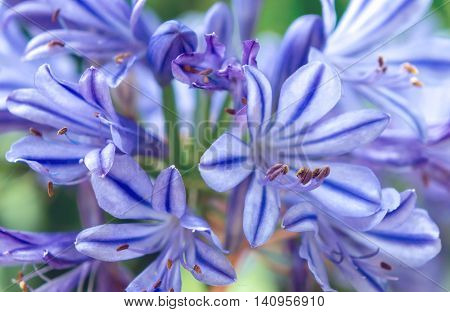 blue striped agapanthus flowers grow in the garden