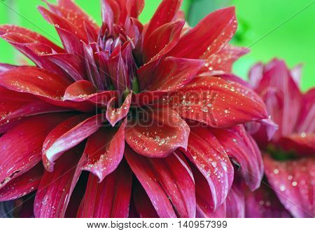 burgundy chrysanthemums growing in the garden, wet after the rain, water droplets visible