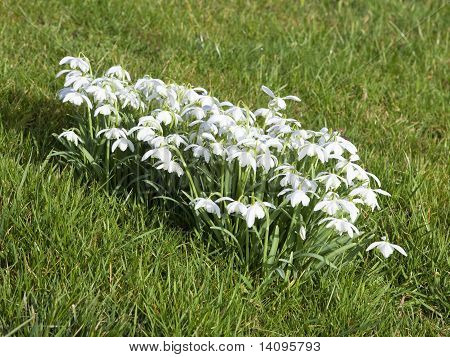 Double Flowered Snowdrops