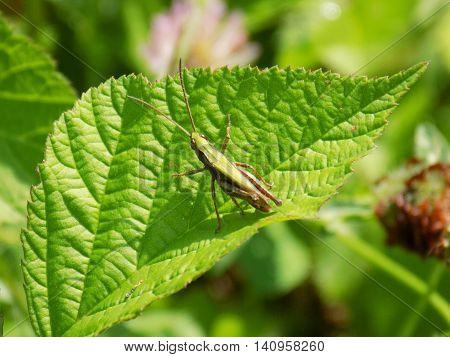 Grasshopper on bush leaf during sunny day