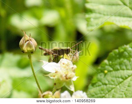 Grasshopper on bush flower during sunny day
