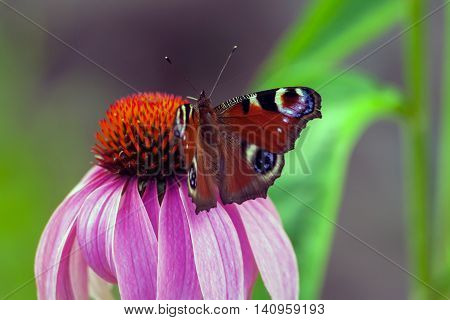 beautiful butterfly peacock sits on a flower of camomile decorative lilac color with orange mid