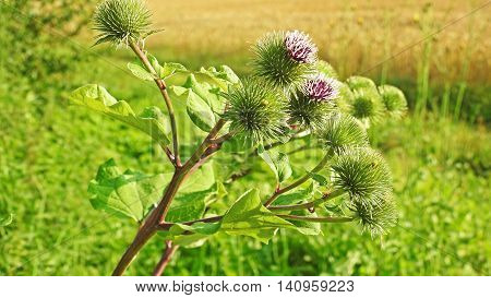 Blossoming beautiful flower with flowering burdock prickles