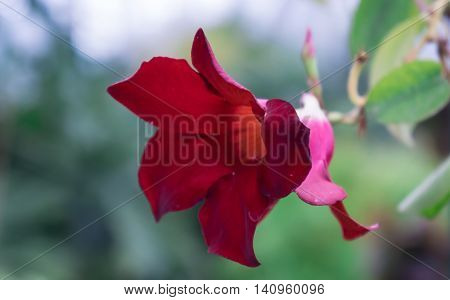 burgundy, one flower ,grow on a large bush in the park, exotic, like a pink bells with thin ends of the petals