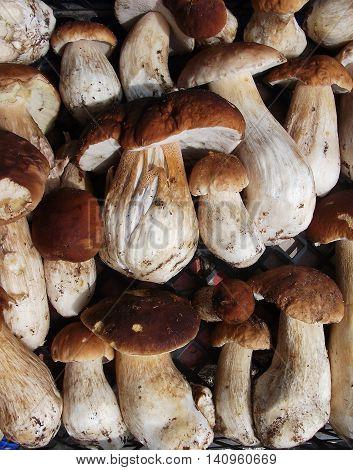 Fresh Mushroom Boletus background top view. Autumn cep mushrooms