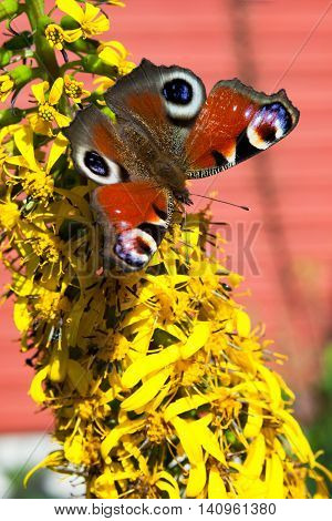 Peacock butterfly on yellow flower in garden at sunny day
