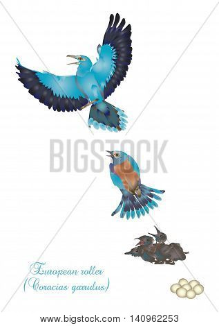 It is illustration of life cycle of European roller.