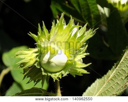 Immature hazelnuts on tree in forest during sunny day