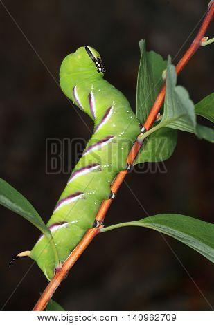 Privet Hawk-moth caterpillar eating in natural garden environment