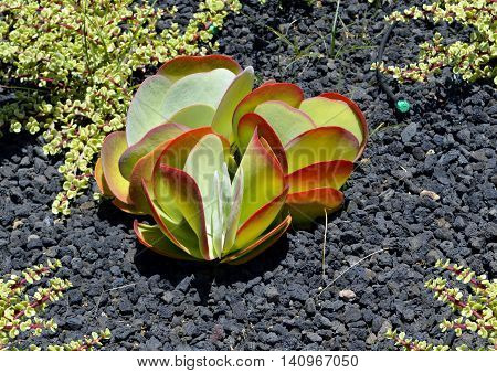 A Money plant Latin name Crassula argentea