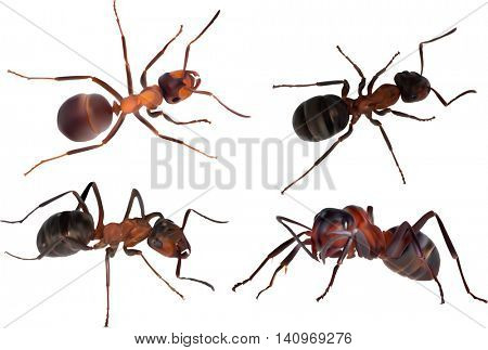 illustration with four large brown forest ants isolated on white background