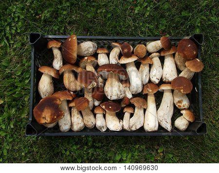 Fresh Mushroom Boletus in the box top view. Autumn cep mushrooms background