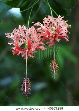 Unusual flower of tropical hibiscus - Hibiscus schizopetalus