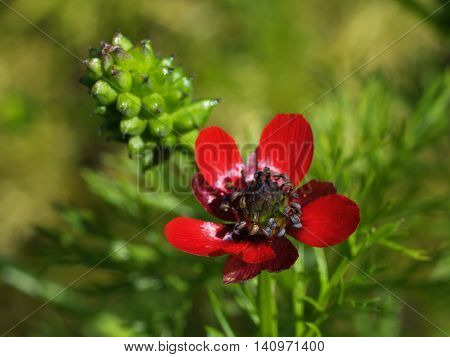 Macro of red adonis flower - adonis annua