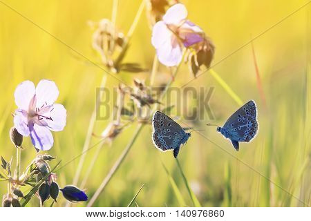 two little blue butterflies are flying towards each other on a Sunny meadow