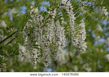 Flowering Acacia White Grapes