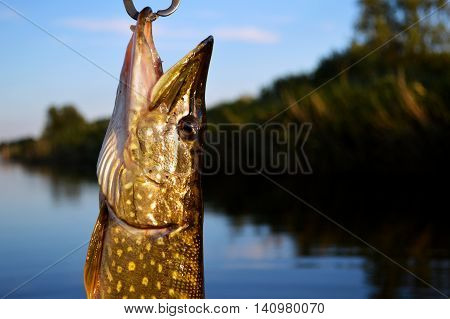 Fishing in river, Fisherman caches a fish. Pike Fish. Real fish.