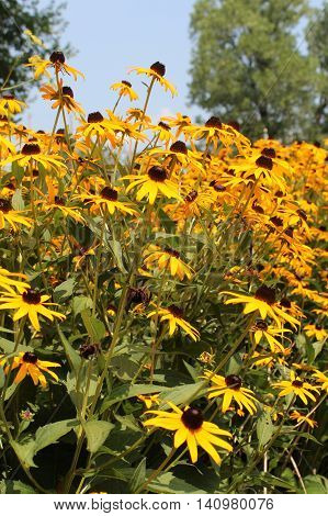 Yellow black-eyed susan wildflowers at the edge of forest