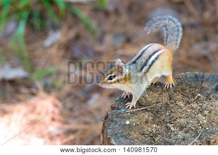 Eastern Chipmunk (tamias) sits atop a wood stump.  Small squirrel pauses to survey his summer sunny surroundings.  Keeps an eye on another chipmunk nearby.