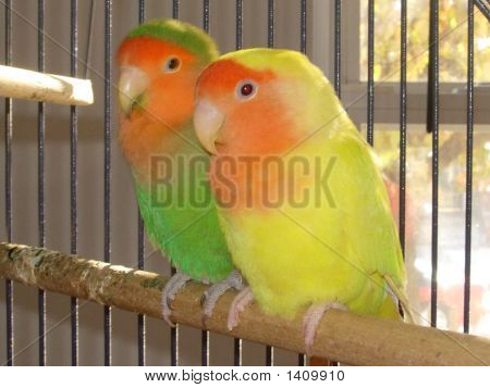 Green Yellow Love Birds 051209A