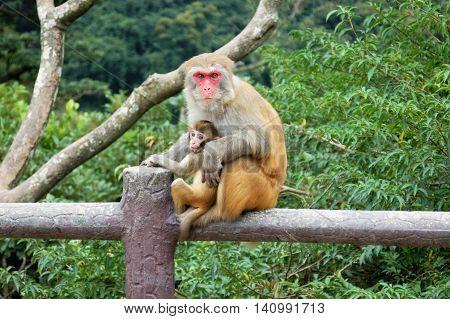 mommy monkey holding baby monkey looking at camera sitting on fence